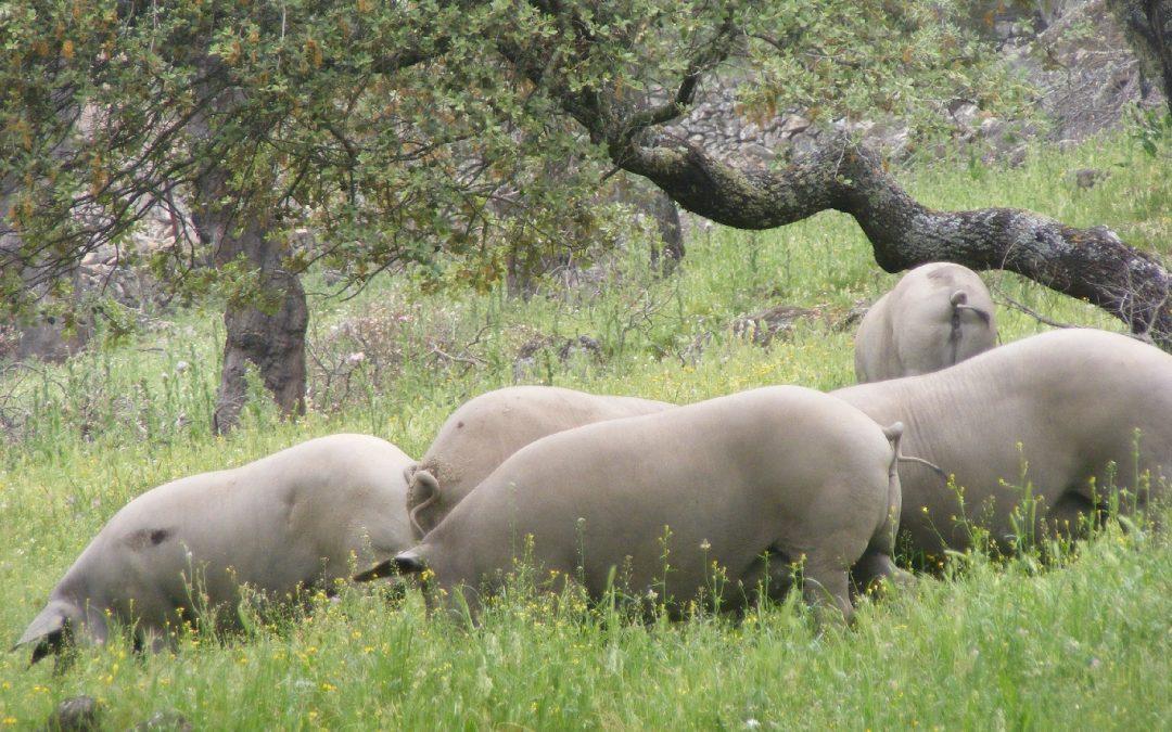 Los cerdos 100% ibéricos de Juanes Ibérico Salvaje